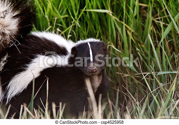 水溝, 有條紋, 臭鼬, 年輕, 路旁 - csp4525958