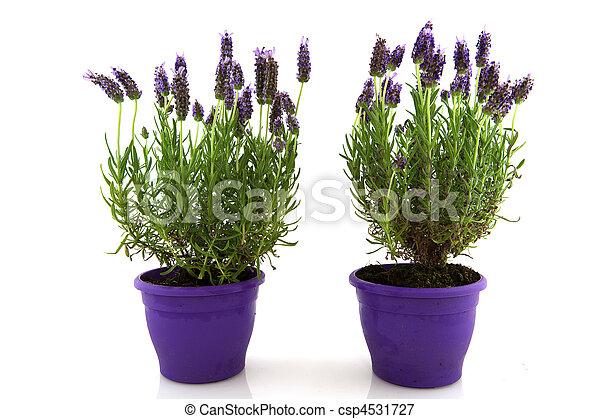 Lavender Stoechas - csp4531727