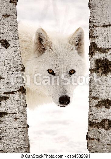 Arctic Wolf seen between two trees in winter - csp4532091