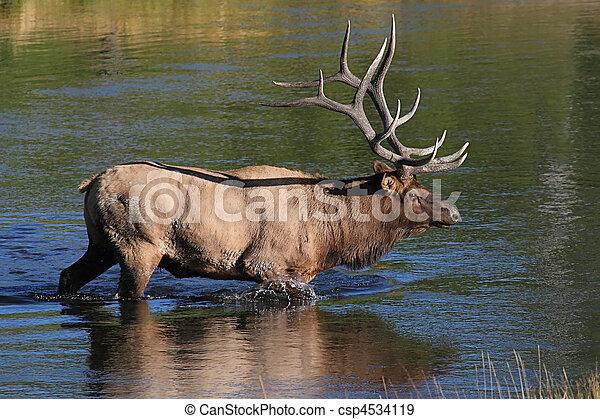 Majestic Bull Elk - csp4534119