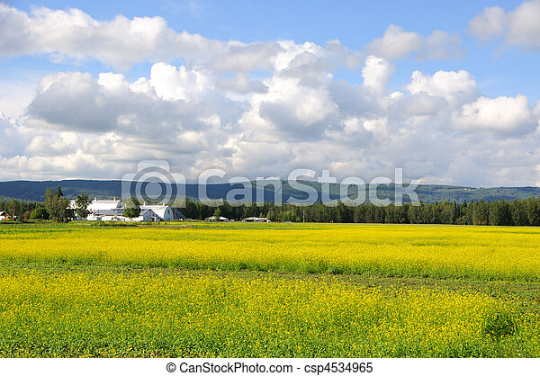 Historic Alaska Farm in Summer with bloom canola flowers - csp4534965
