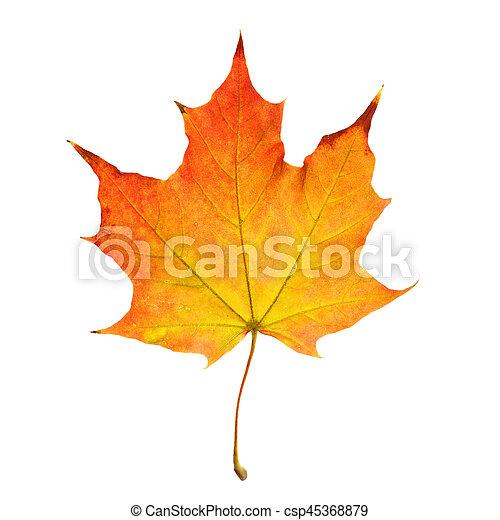 秋, 白, 葉, 隔離された, 背景 - csp45368879