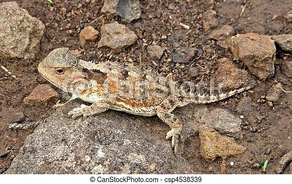 Greater Short-horned Lizard - csp4538339