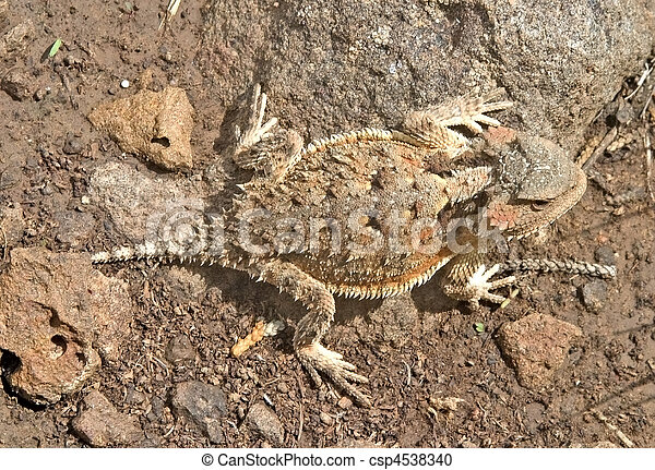Greater Short-horned Lizard - csp4538340