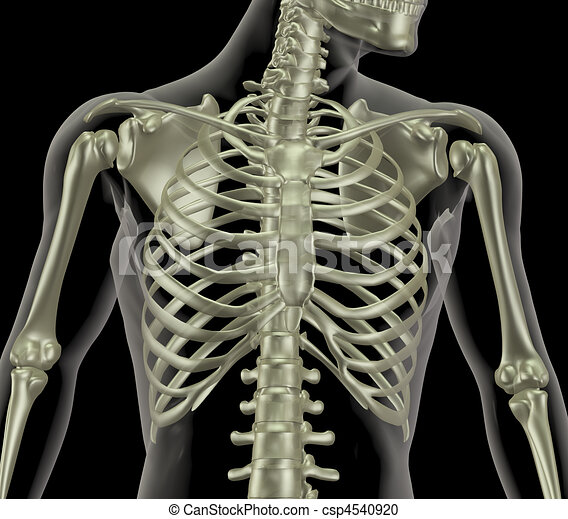 Skeleton showing close up of rib cage - csp4540920