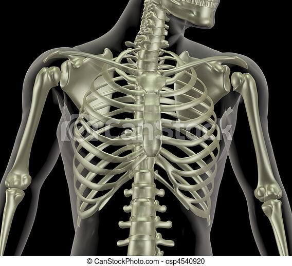 Skeleton showing close up of rib cage - csp4540920