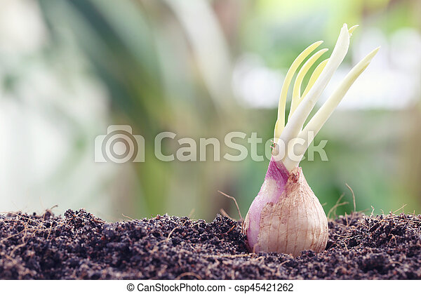 Seeds of shallots on ground,idea of starting activity and agriculture.