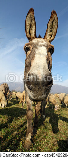 donkey with long ears photographed with a fisheye lens in the middle of the sheep herd
