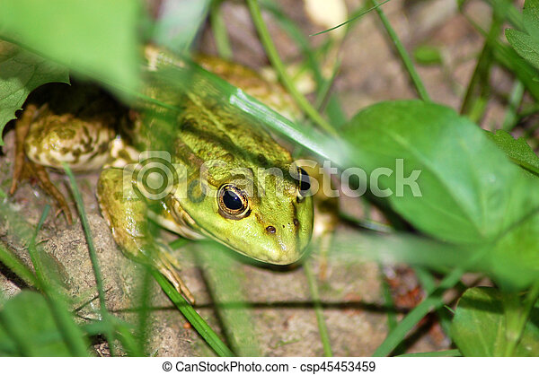 Frog in grass - csp45453459
