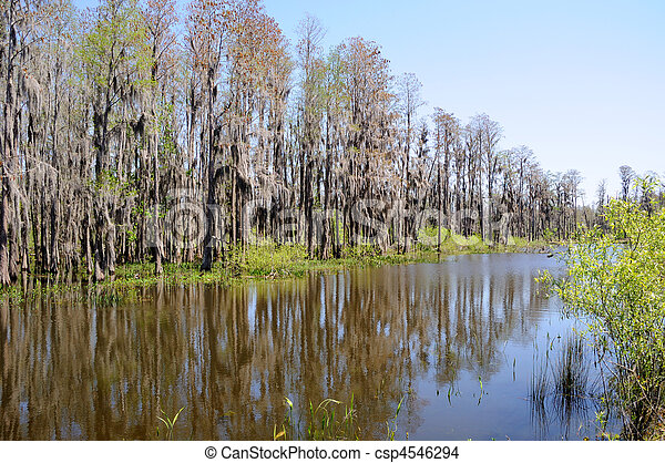 Cypress Trees Standing on Edge of Florida Pond and Marsh Land - csp4546294