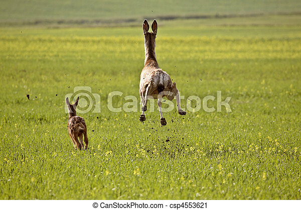 Mule Deer doe and fawn bounding through Saskatchewan field - csp4553621