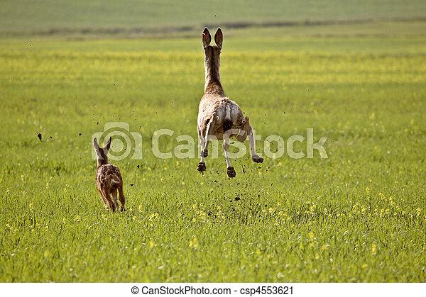 Mule Deer doe and fawn bounding through Saskatchewan field - csp4553621
