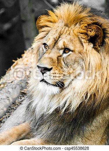 Big male lion portrait. Profile view of jungle king with huge bushy mane.