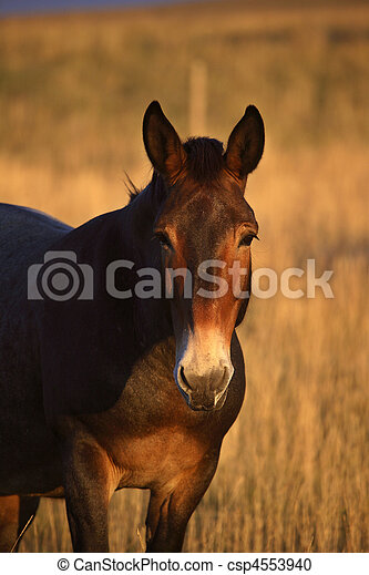 A mule in an Alberta pasture - csp4553940