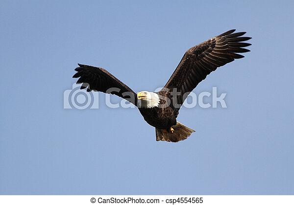 Adult Bald Eagle (haliaeetus leucocephalus) - csp4554565