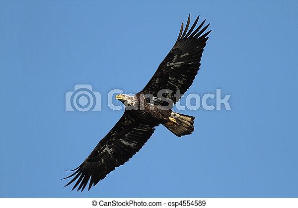 Sub-adult Bald Eagle (haliaeetus leucocephalus) - csp4554589