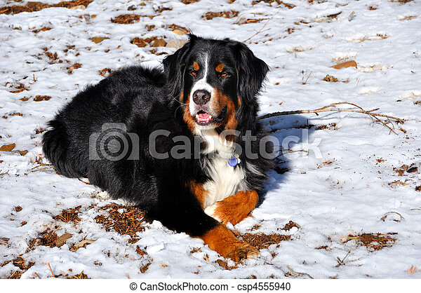 Bernese Mountain Dog in Lassen National Forest, California - csp4555940