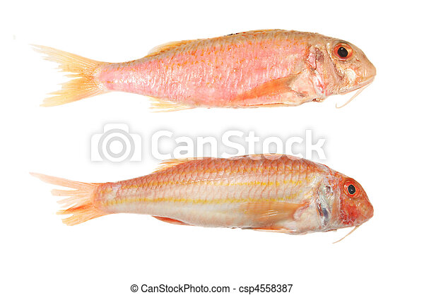 Picture of two red mullet fish isolated on white for Red mullet fish
