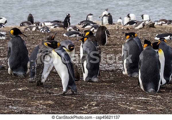King Penguin - csp45621137