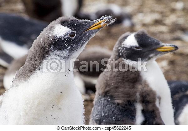 Gentoo Penguin Colony - csp45622245