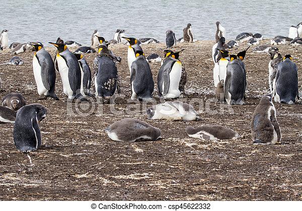 King Penguin - csp45622332