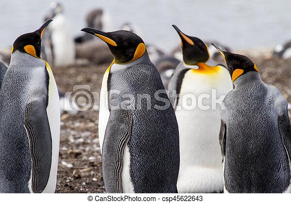 King Penguin - csp45622643