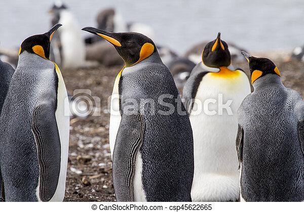 King Penguin - csp45622665