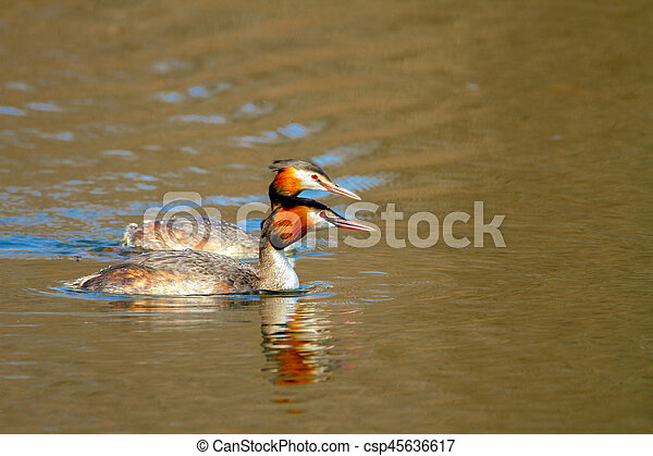 animal pair of wild birds Podiceps cristatus floating on water - csp45636617