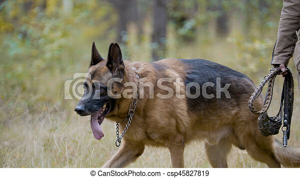 Pet - German shepherd dog in the autumn forest, telephoto