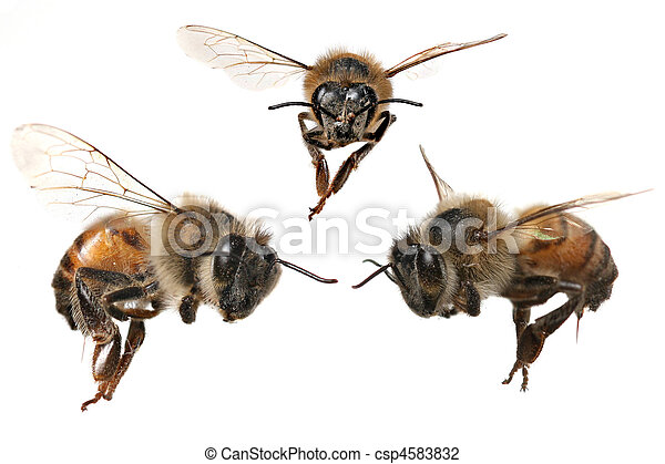 3 Different Angles of a North American Honey Bee - csp4583832
