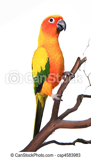 Beautiful Sun Conure Bird on a Branch - csp4583983