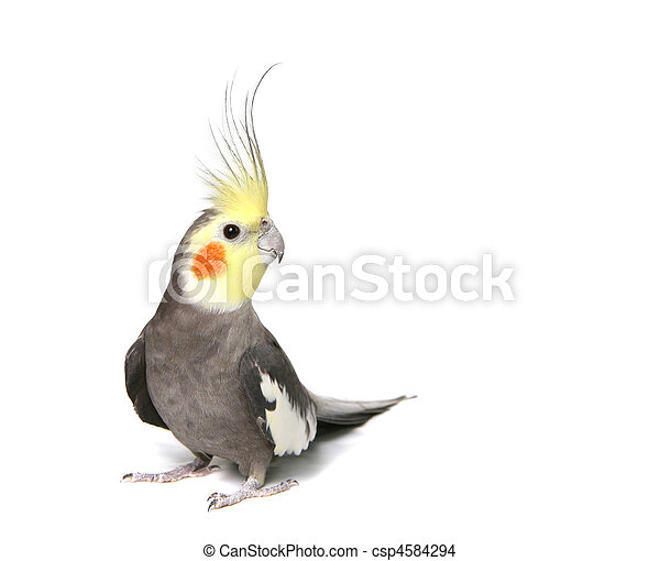 Grey Curious Cockatiel Isolated - csp4584294