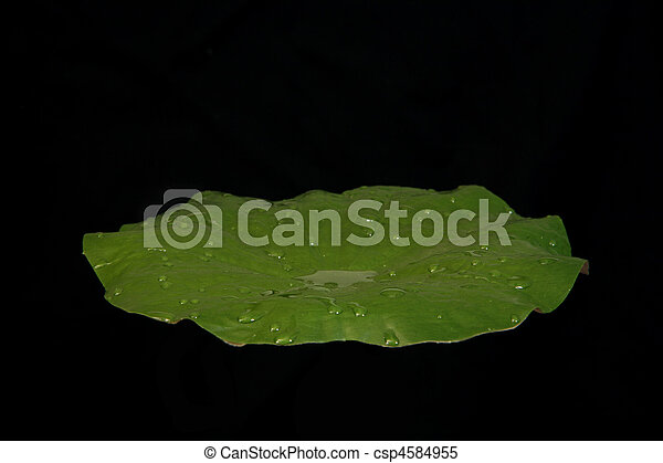 Water Lilly Pad - csp4584955
