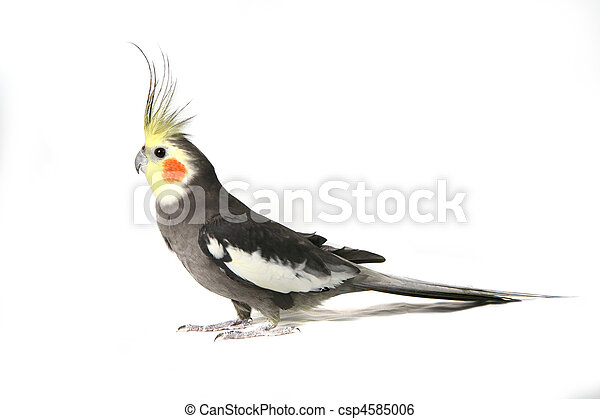 Handsome Grey Cockatiel  - csp4585006