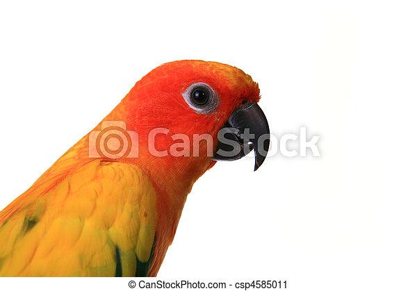 fej, lövés, nap,  conure, elágazik, madár - csp4585011