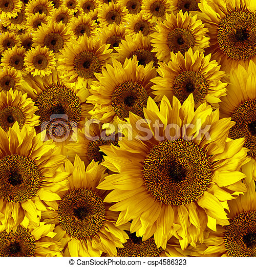 Yellow Vintage Rustic Looking Grunge Sunflowers - csp4586323