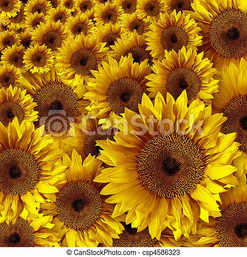 Yellow Vintage Rustic Looking Grunge Sunflowers - csp4586323