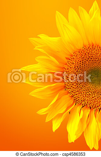 Striking Image of a Sunflower on a Warm Background - csp4586353