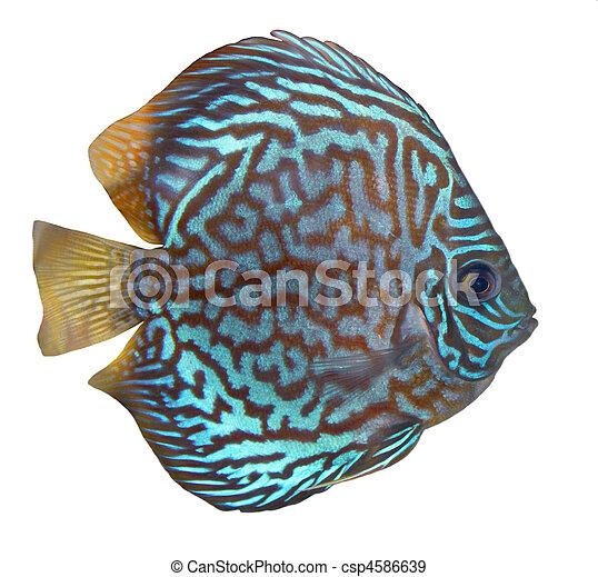 Blue turquoise discus - csp4586639