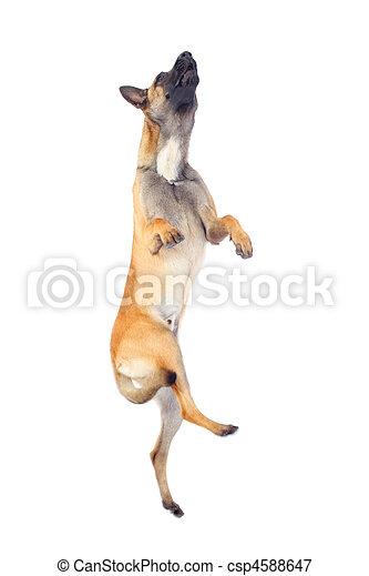 belgian shepherd dog - csp4588647