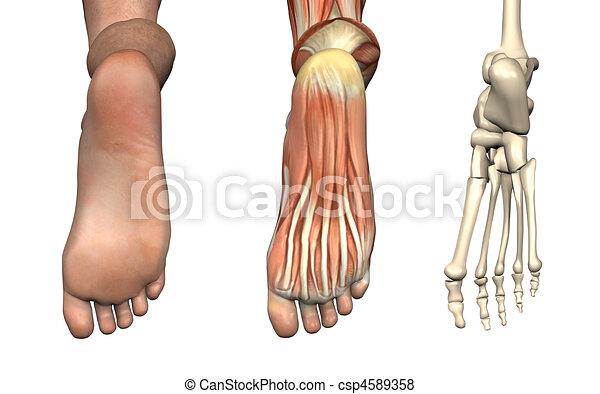 Anatomical Overlays - Foot - csp4589358