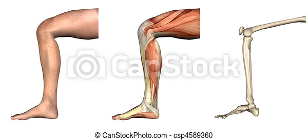 Anatomical Overlays - Bent Knee - csp4589360
