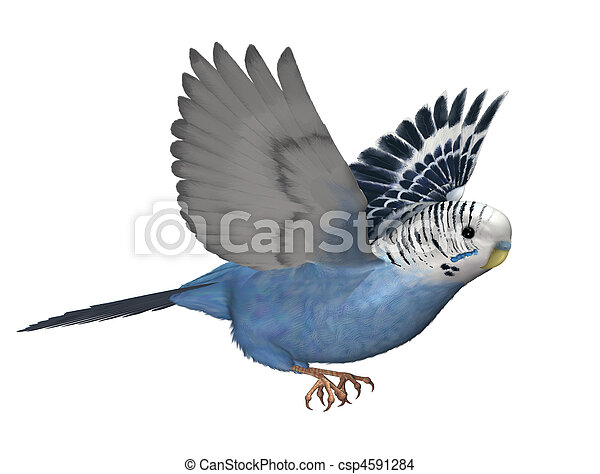 Budgie Flying - csp4591284