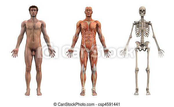 Anatomical Overlays - Adult Male - csp4591441