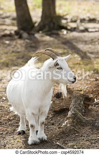 Billy goat - csp4592074