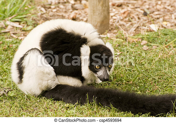 Black and white ruffed lemur in captivity - csp4593694