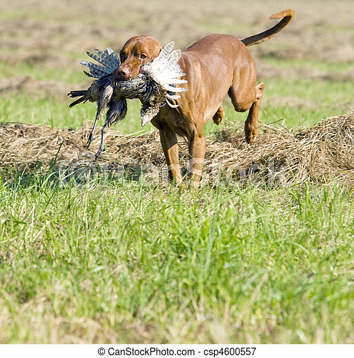 hunting dog with a catch - csp4600557