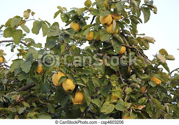 Archivi immagini di mela cotogna albero e mela cotogna giallocsp4603206 cerca archivi - Membrillo arbol ...