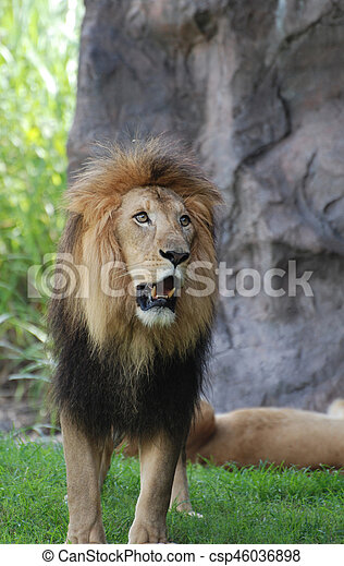 Lion with a thick black fur mane prowling around.