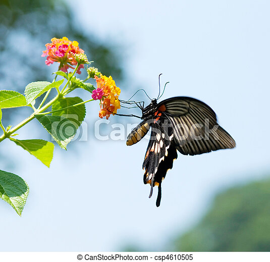 Swallowtail butterfly flying and feeding under blue sky  - csp4610505